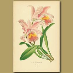 Orchid (Cattleya Mossiae)