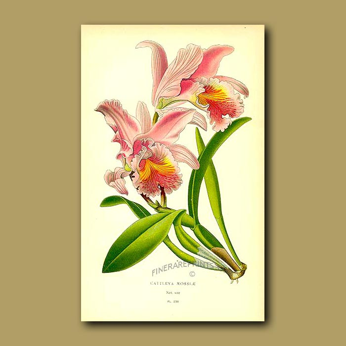 Antique print. Orchid (Cattleya Mossiae)