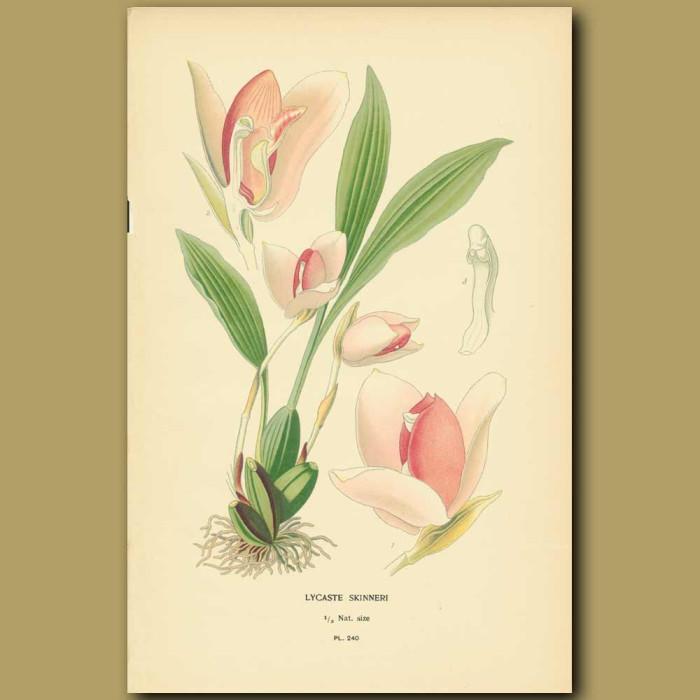 Antique print. Orchid (Lycaste Skinneri)