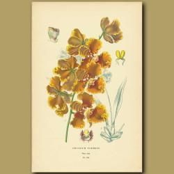 Orchid (Oncidium Forbesii)