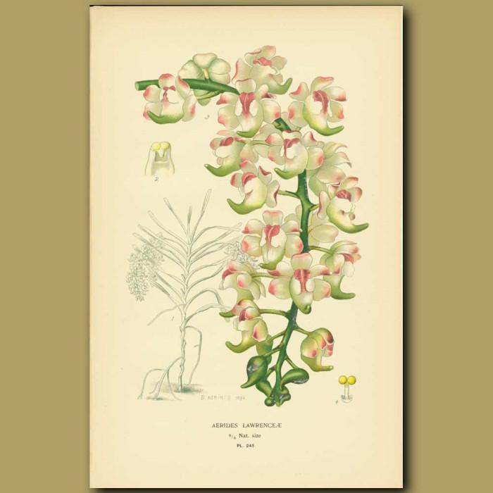 Antique print. Orchid (Aerides Lawrenceae)