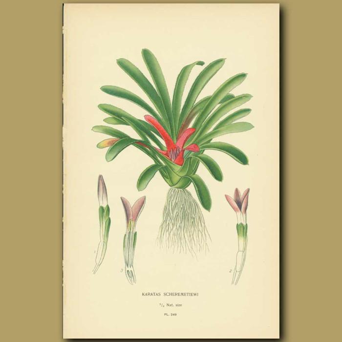 Antique print. Bromeliad( Karatas Scheremetiewi)