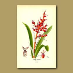 Bromeliad (Aechmea Fulgens)