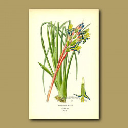 Bromeliad (Billbergia Splendens)