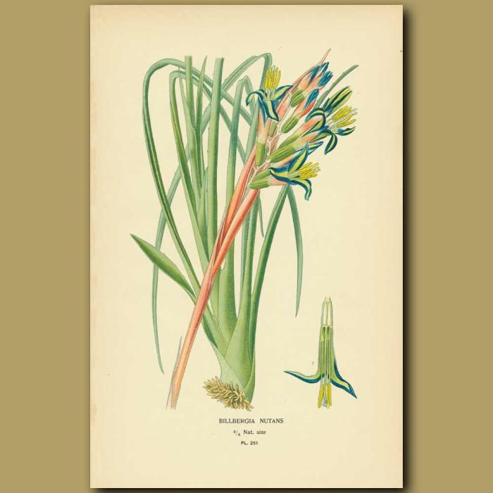 Antique print. Bromeliad (Billbergia Splendens)