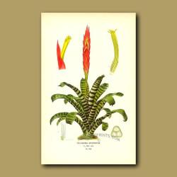 Bromeliad (Tillandsia Splendens)