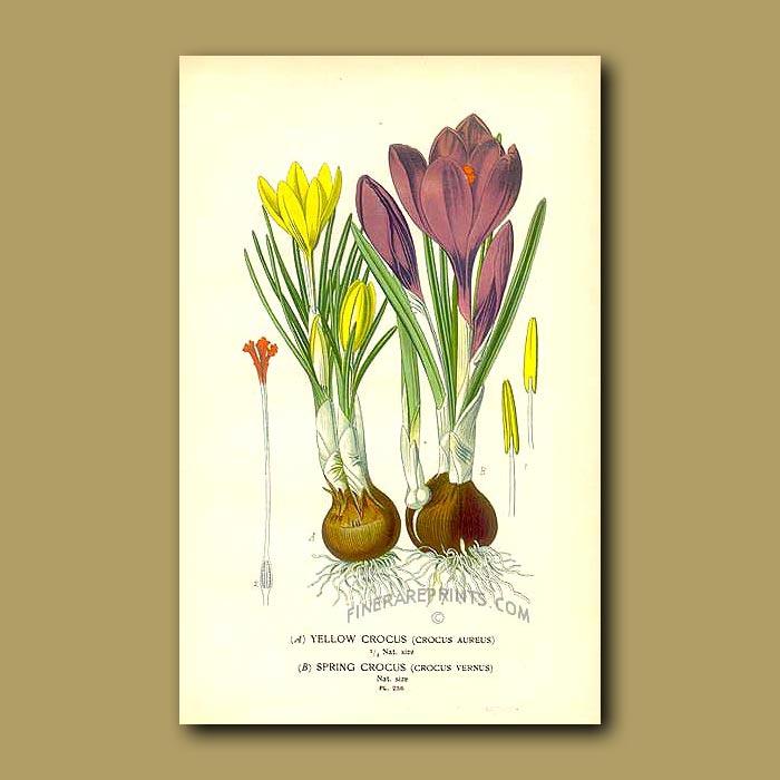 Antique print. Yellow Crocus And Spring Crocus (Crocus Aureus And Crocus Vernus)