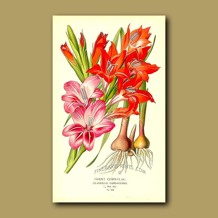 Antique print. Ghent Cornflag (Gladiolus Gandavensis)