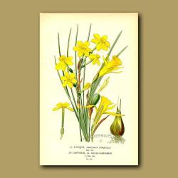 Daffodils (Narcissus Jonquilla And Pseudo-Narcissus)