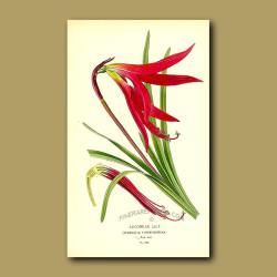 Jacobean Lily (Sprekelia Formosissima)