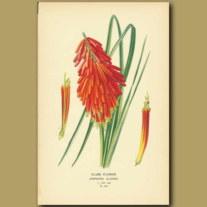 Antique print. Flame Flower (Kniphofia Aloides)