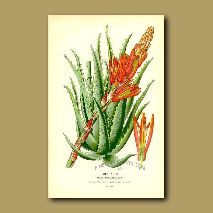 Antique print. Tree Aloe (Aloe Arborescens)