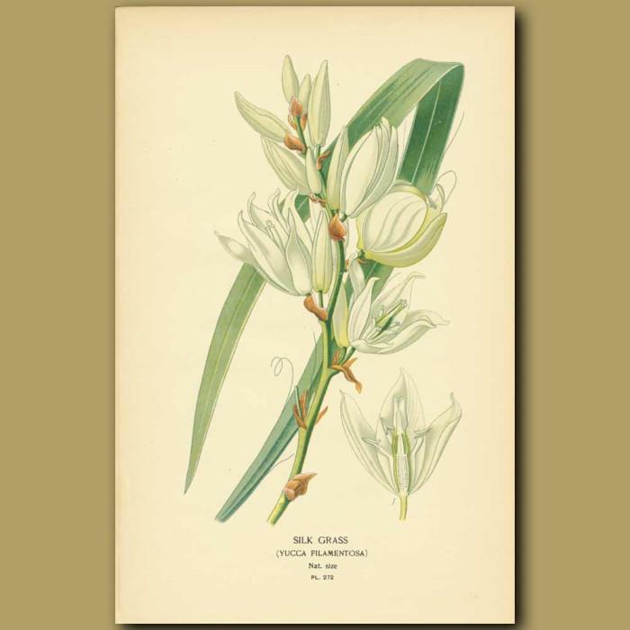 Antique print. Silk Grass (Yucca Filamentosa)