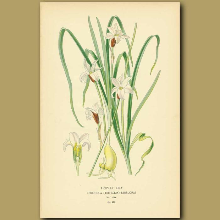 Antique print. Triplet Lily (Brodioea Uniflora)