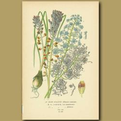 Grape Hyacinth (Muscari Comosum)