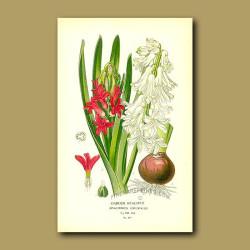 Garden Hyacinth (Hyacinthus Orientalis)