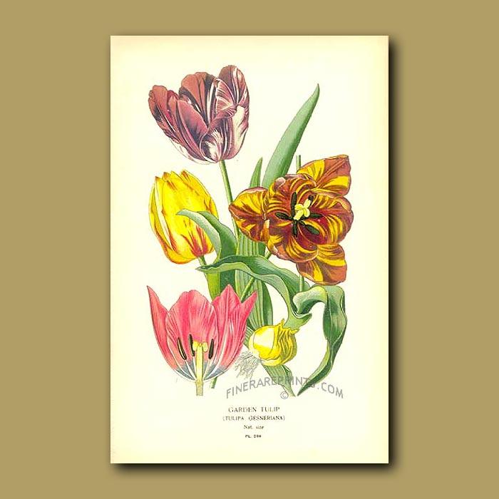 Antique print. Garden Tulips (Tulipa Gesneriana)