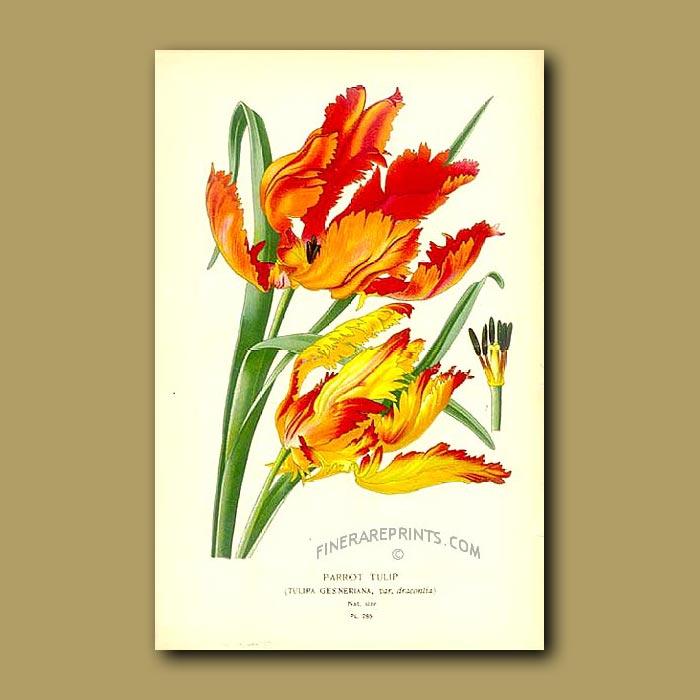 Antique print. Parrot Tulips (Tulipa Gesneriana Var. Dracontia)