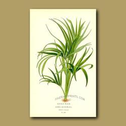 Curly Palm Tree (Howea Belmoreana)