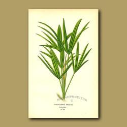 Windmill Palm) Trachycarpus Excelsa