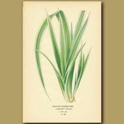 Veitch's Screw Pine (Pandanus Veitchi)