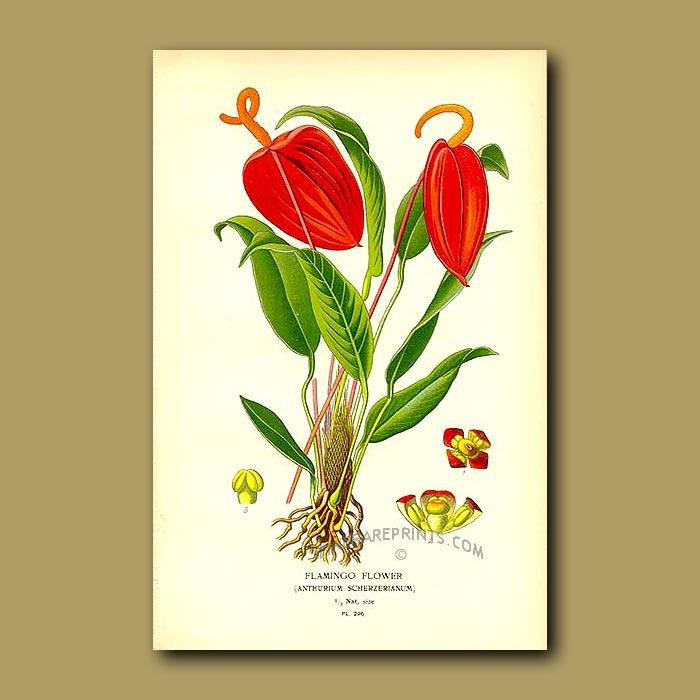 Antique print. Flamingo Flower (Anthurium Scherzerianum)