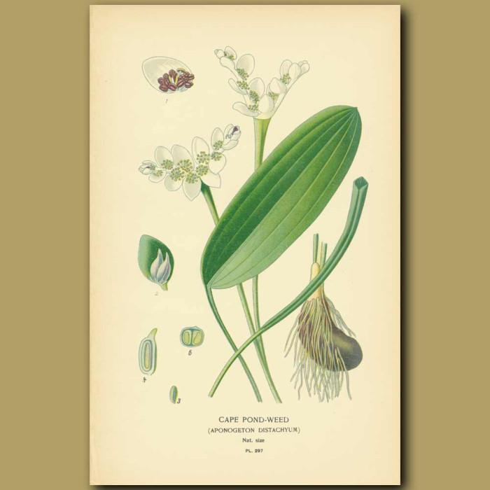 Antique print. Cape Pondweed (Aponogeton Distachyum)