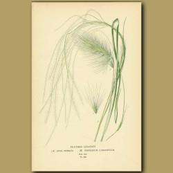 Feather Grasses (Stipa Pennata And Pennisetum Longistylus)