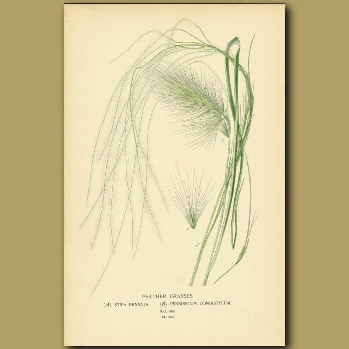 Antique print. Feather Grasses (Stipa Pennata And Pennisetum Longistylus)