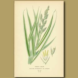 Ribbon Grass (halaris Arundinacea Var. Variegata)