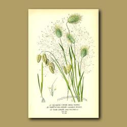 Quaking, Hare's Tail And Hair Grasses  (Briza Maxima, Lagurus Ovatus And Aira Pulchella)
