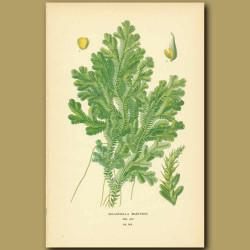 Fern (Selaginella Martinensii)