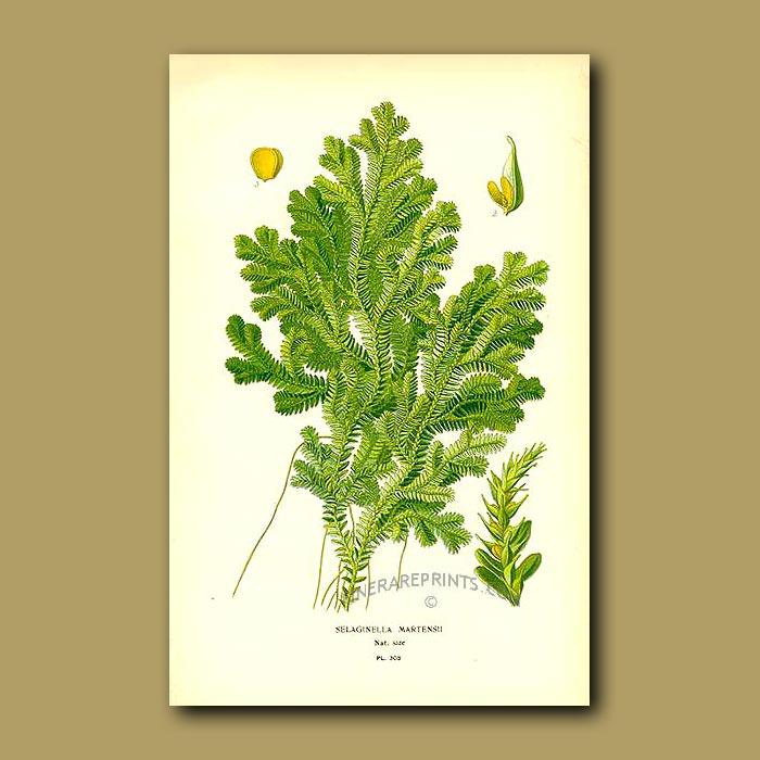 Antique print. Fern (Selaginella Martinensii)