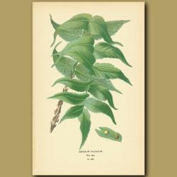 Fern (Aspidium Falcatum)