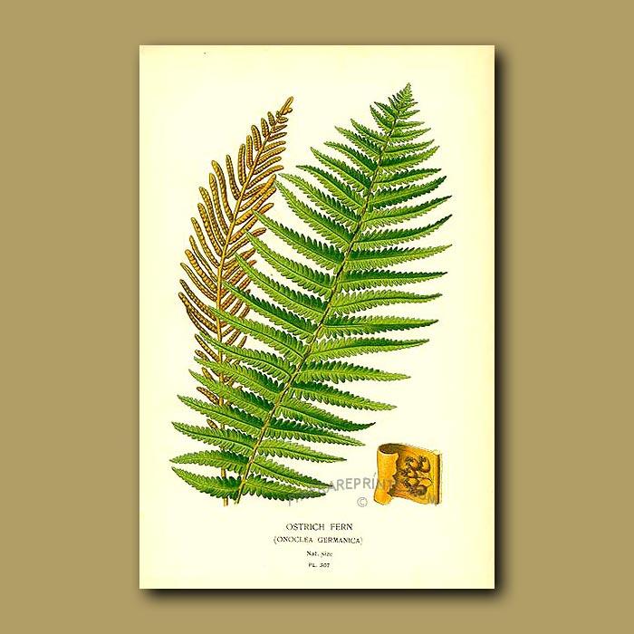 Antique print. Ostrich Fern (Onoclea Germanica)