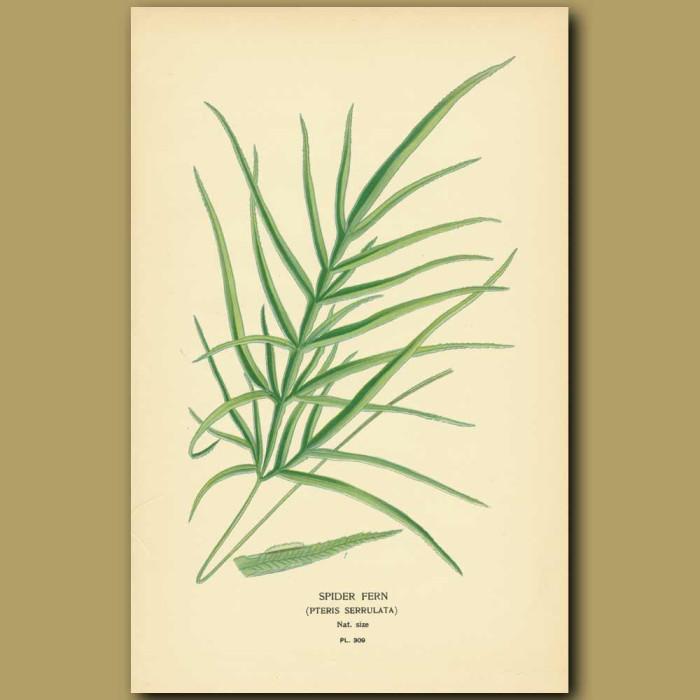 Antique print. Spider Fern (Pteris Serrulata)