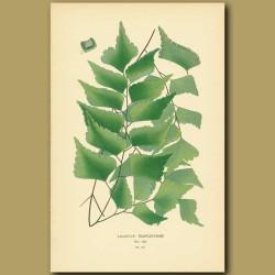 Fern (Adiantium Trapeziforme)