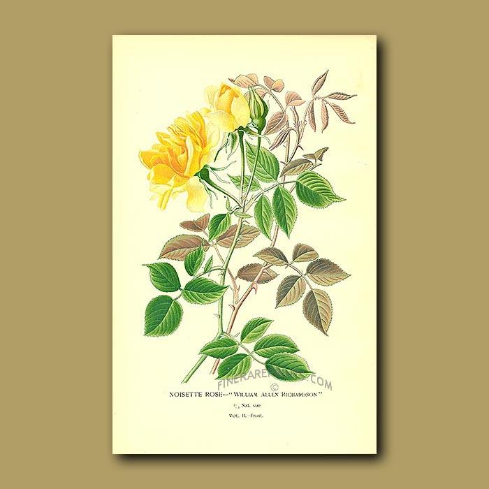 Antique print. Yellow Noisette Rose (William Allen Richardson)