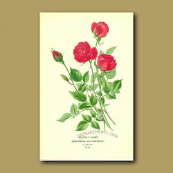 Monthly Rose (Rosa Indica Var. Semperflorens)