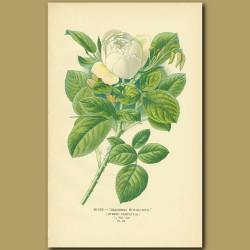 White Rose (Baroness Rothschild)