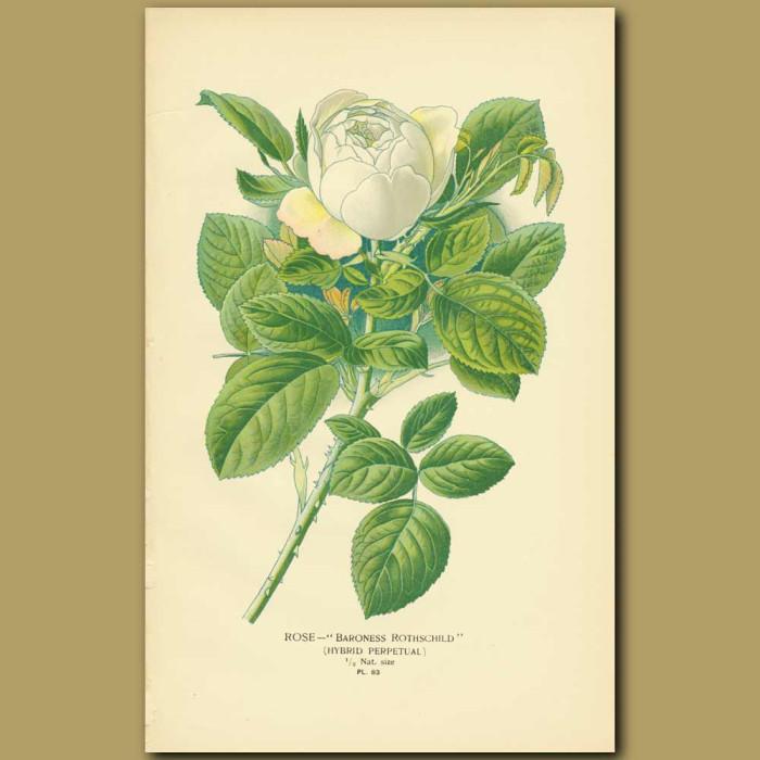 Antique print. White Rose (Baroness Rothschild)