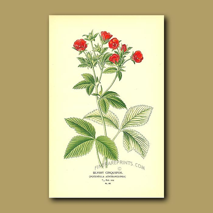 Antique print. Silvery Cinquefoil (Potentilla Atrosanguinea)