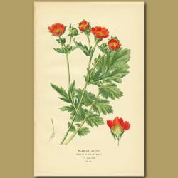 Scarlet Avens (Geum Chiloense)