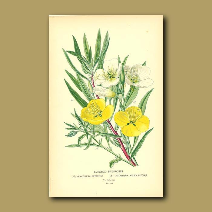 Antique print. Evening Primrose (Enothera Speciosa)