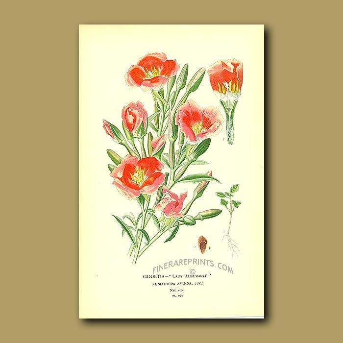 Antique print. Enothera Amoena (Godetia Lady Albemarle)