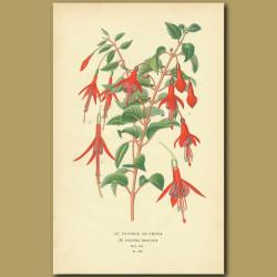 Fuchsia Globosa And Gracilis