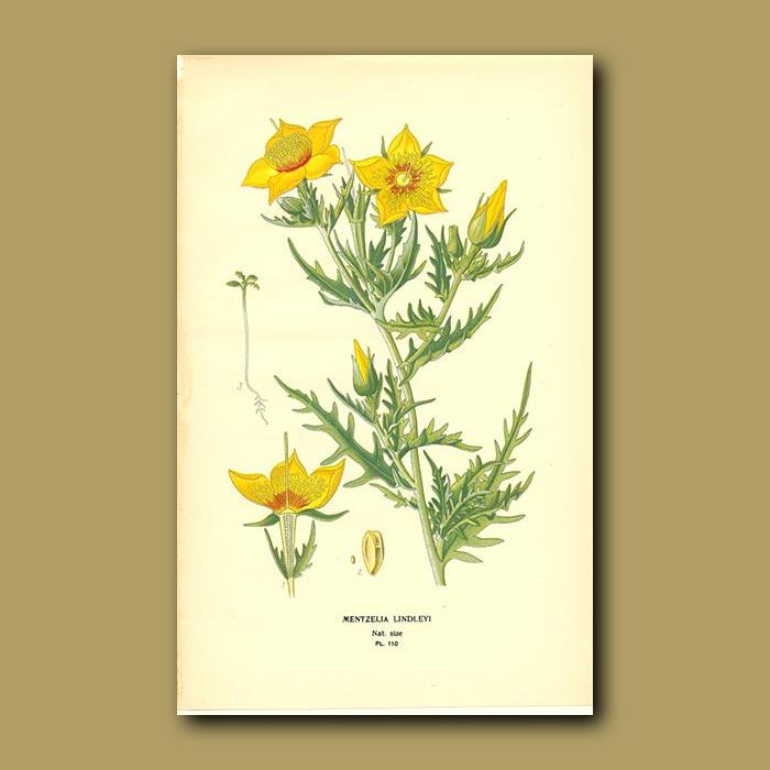 Antique print. Mentzelia Lindleyi