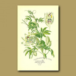 Passion-Flower (Passiflora Coerulea)