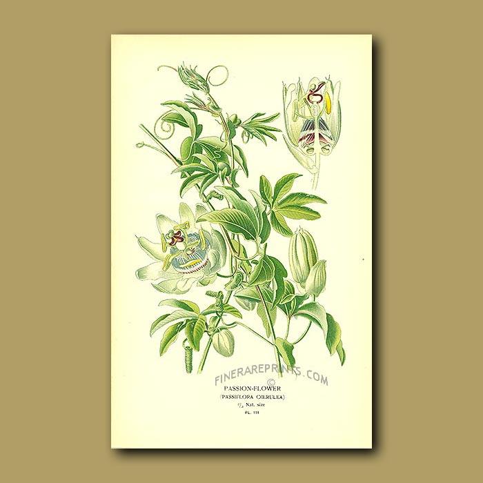 Antique print. Passion-Flower (Passiflora Coerulea)