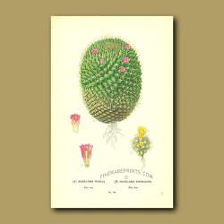 Cactus (Mamillaria Pusilla And Rhodantha)